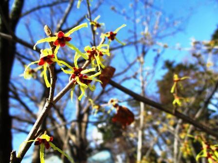 マルバマンサクの開花から40日後に桜が咲く
