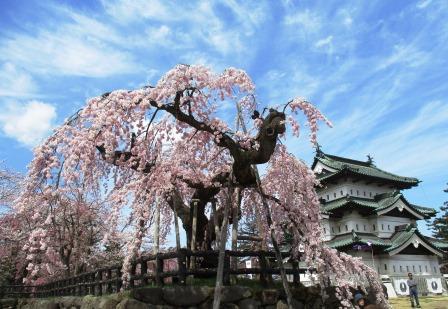 弘前さくらまつり・弘前城天守・しだれ桜