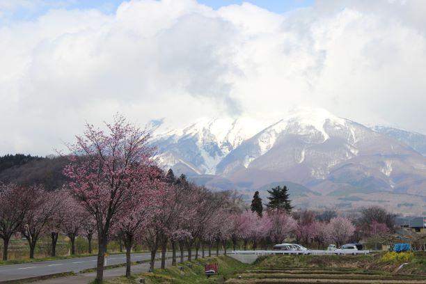 岩木山・オオヤマザクラ