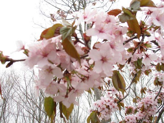 世界一の桜並木・岩木山麓