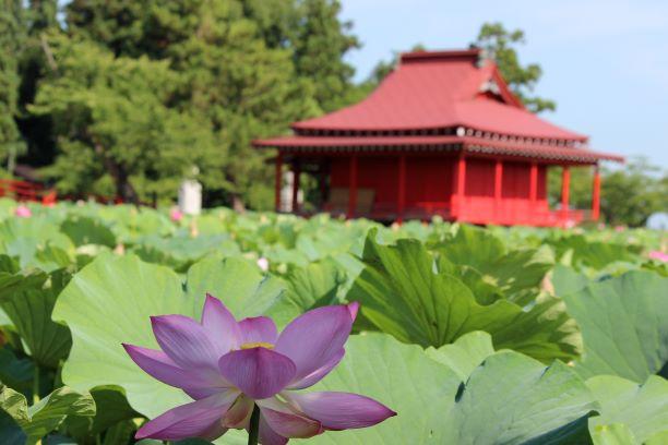 猿賀公園・猿賀神社・蓮の花