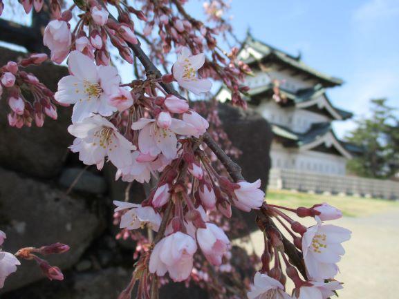 弘前公園・桜