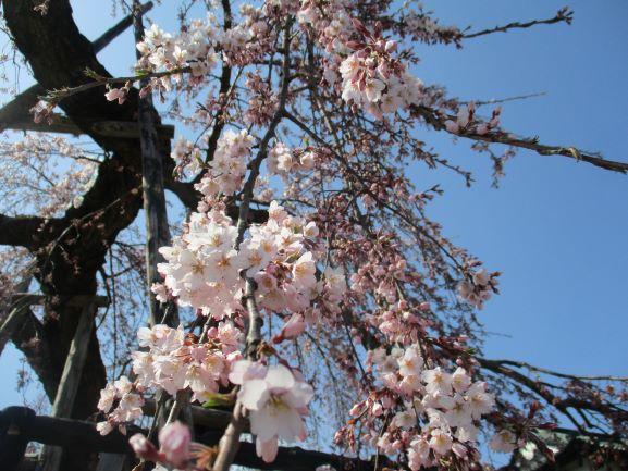 弘前公園・桜開花