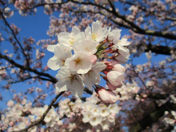 弘前さくらまつり・桜開花・弘前公園