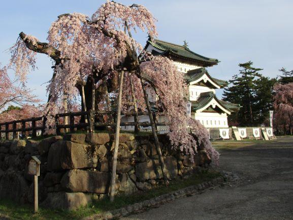 弘前城天守と桜