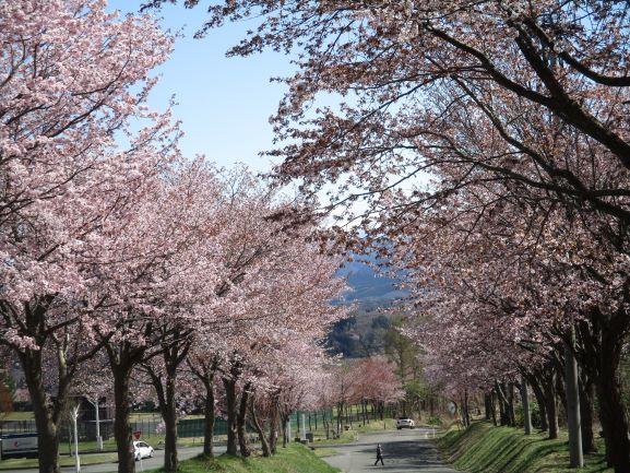 岩木山ネックレスロード・桜並木