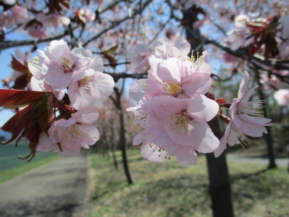 岩木山ネックレスロード・世界一の桜並木