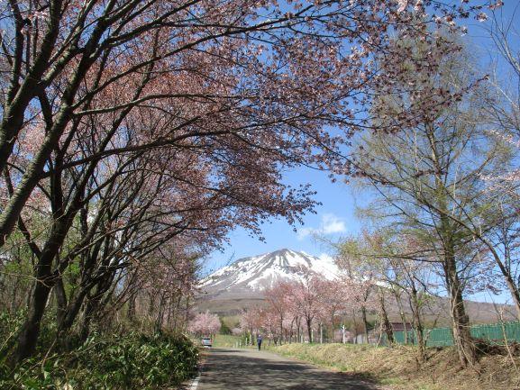 岩木山・世界一の桜並木