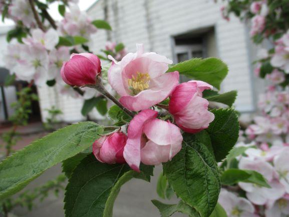 りんご花まつりin弘前りんご公園