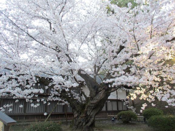 一番古い桜の木