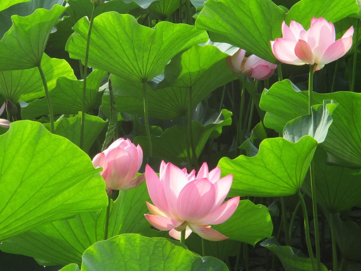 弘前公園・ハスの花