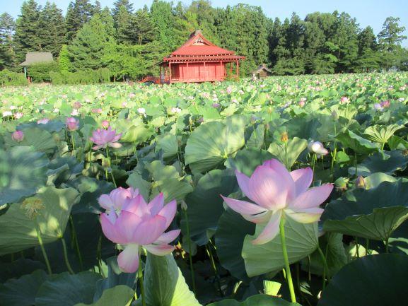 猿賀神社・ハスの花