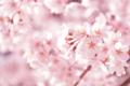 京都新聞写真コンテスト 咲き誇る