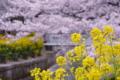 京都新聞写真コンテスト 春の共演