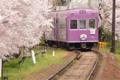 京都新聞写真コンテスト 桜のトンネル