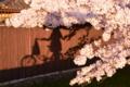 京都新聞写真コンテスト 桜影