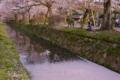 京都新聞写真コンテスト 花びらの川