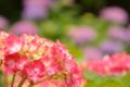 京都新聞写真コンテスト 紫陽花の滴