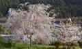 「京都新聞写真コンテスト」桜と鉄道