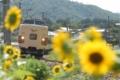 「京都新聞写真コンテスト」名残のヒマワリを行く381系