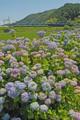 「京都新聞写真コンテスト」紫陽花の旅路!