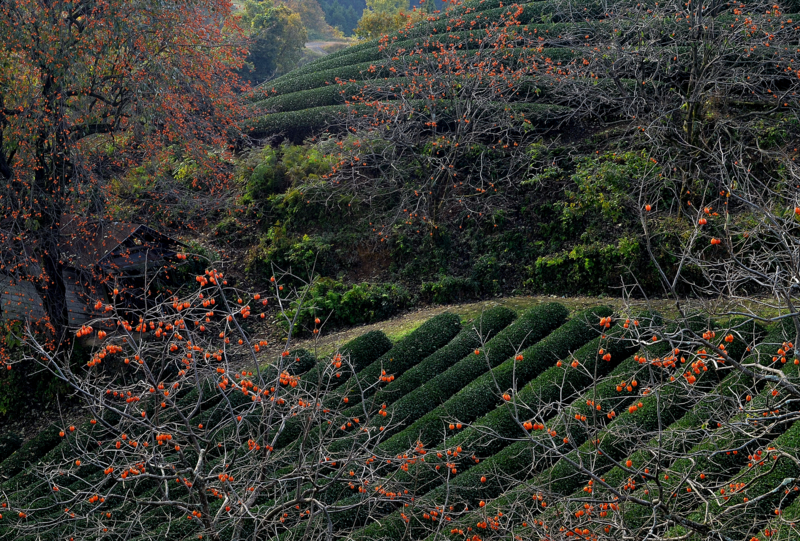 京都新聞写真コンテスト 実りの季節