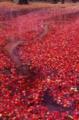 京都新聞写真コンテスト 散り紅葉