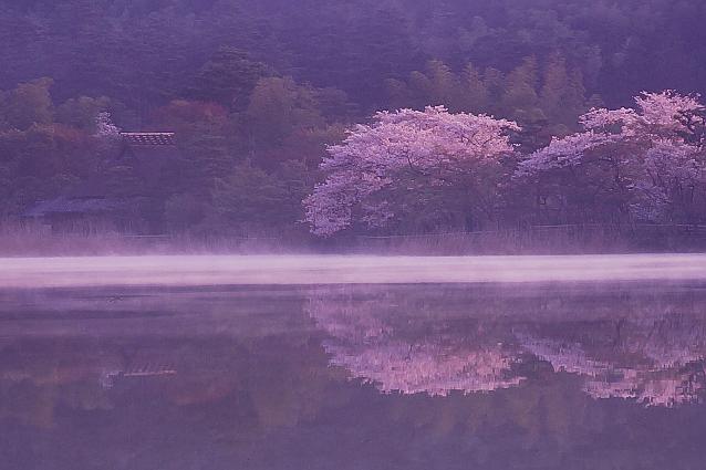 京都新聞写真コンテスト 桜鏡