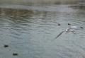 京都新聞写真コンテスト のどかな水面