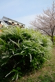京都新聞写真コンテスト ユキヤナギ咲く頃