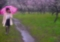 京都新聞写真コンテスト 雨の散歩道