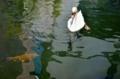 京都新聞写真コンテスト 共泳