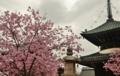 京都新聞写真コンテスト 春が来た