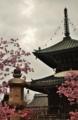 京都新聞写真コンテスト 春到来