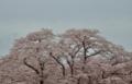 京都新聞写真コンテスト 桜花