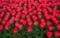 京都新聞写真コンテスト 真っ赤な春色
