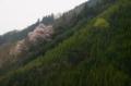 京都新聞写真コンテスト 深山の桜