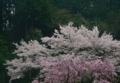 京都新聞写真コンテスト 春色の季節
