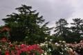 京都新聞写真コンテスト 香る薔薇園