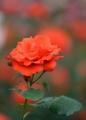 京都新聞写真コンテスト 情熱の花