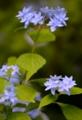 京都新聞写真コンテスト 幻の紫陽花