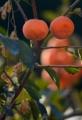 京都新聞写真コンテスト 秋の果実