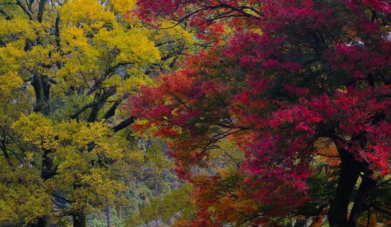 京都新聞写真コンテスト 楓の紅葉