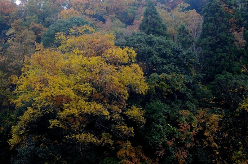 京都新聞写真コンテスト 黄紅葉