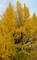 京都新聞写真コンテスト 黄金色に色ずく