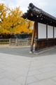 京都新聞写真コンテスト 秋色の銀杏