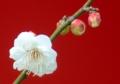 京都新聞写真コンテスト 白梅