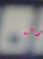 京都新聞写真コンテスト 早春の梅