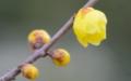 京都新聞写真コンテスト 早春の香