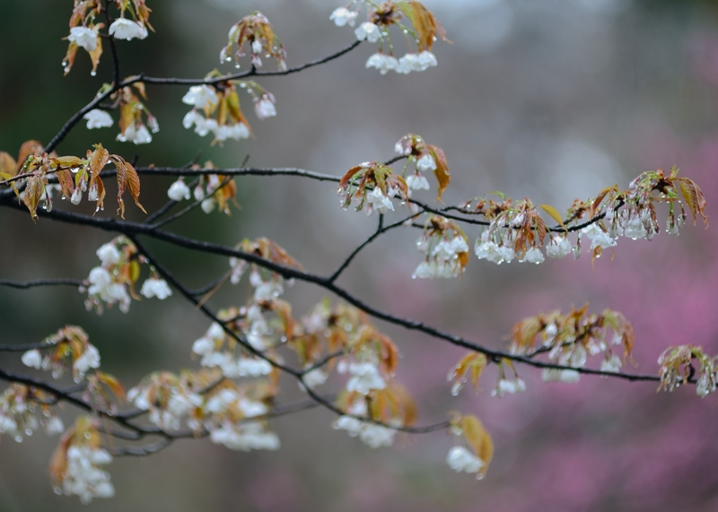京都新聞写真コンテスト 春雨